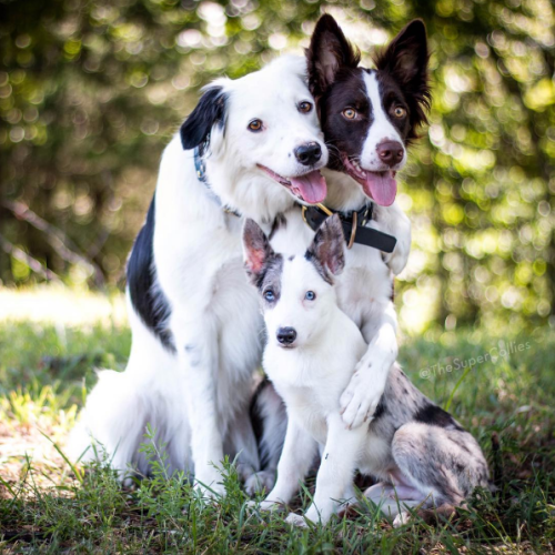 The Super Collies