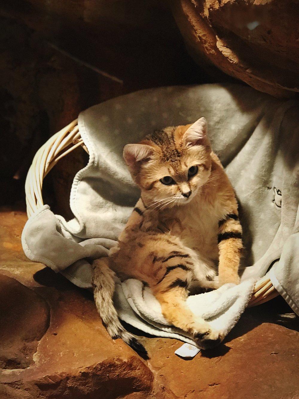 Sand Cat. Would pet.