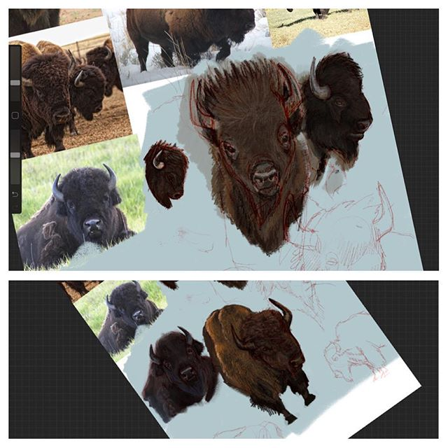 Sketching, sketching, sketching bisons. Why do bisons look like sleepyheads? #bisons #illustration #painting #ipadpro #applepencil #procreateapp #cg #animals #sketches