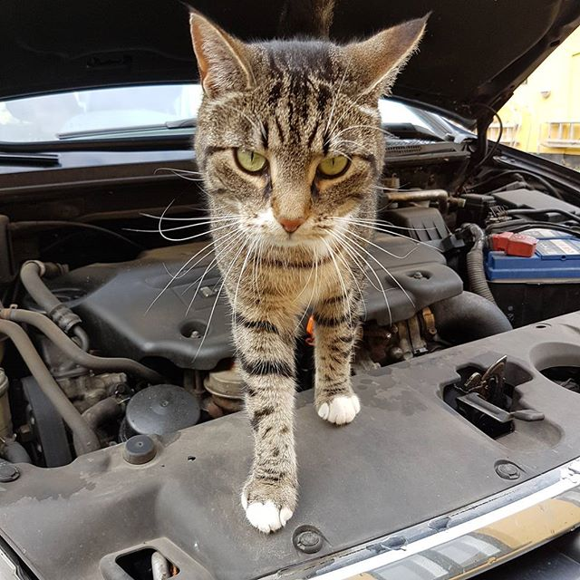 Not easy to check the oil today when somebody is blocking. #catblocking #oilcheck #cat #car #catmechanic.