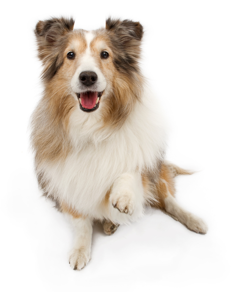 sheltie_paw_raise copy.jpg
