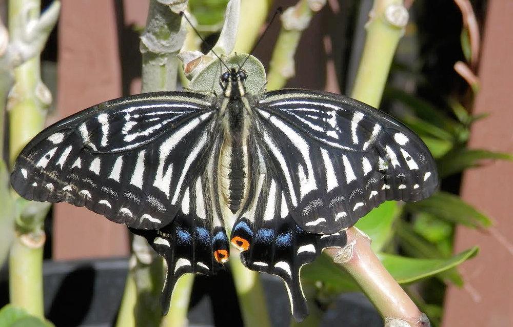 Citrus Swallowtail - Papilo xuthus