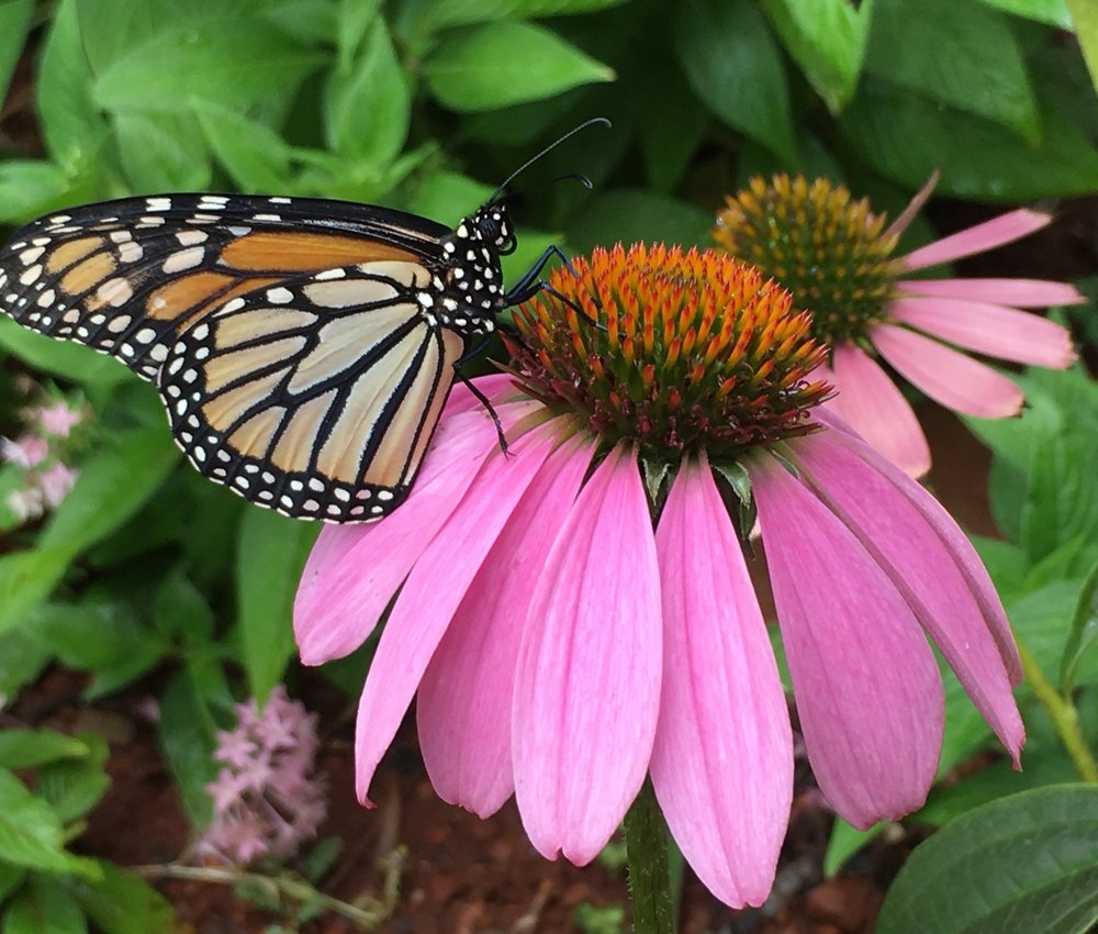 Monarch on a cone flower
