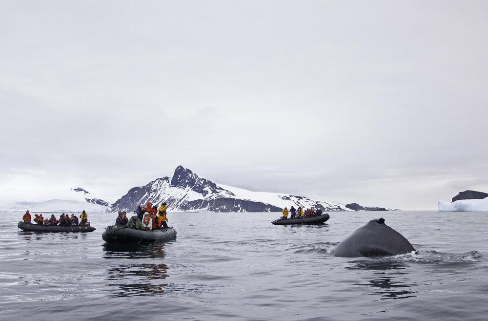 AXXI_1112_Humpback whales_Cierva Cove_(c)_sandrawalser.ch (2)_Original_4711.jpg