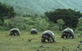 Tortoises in Santa Cruz Island