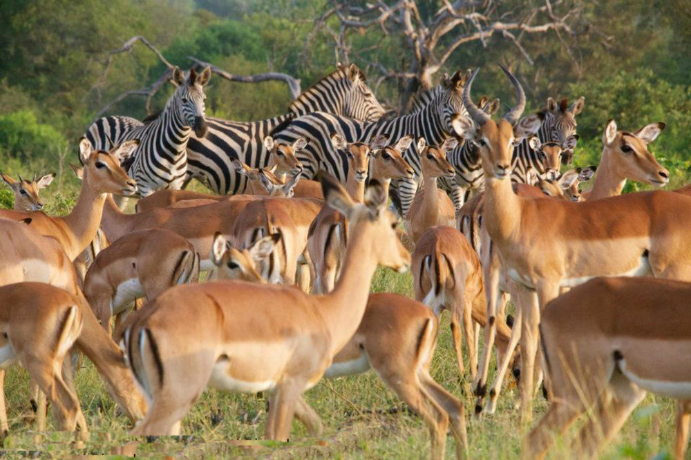 Safari in Timbavati Private Nature Reserve