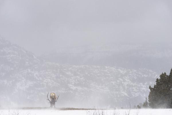 Dylan Klinesteker - Bull Elk On A Windy Day.JPG