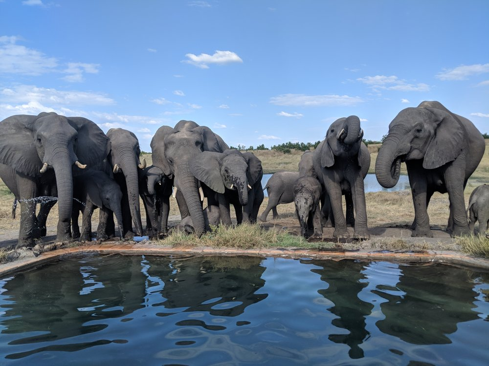 Everyday for tea time at least 20 elephants, including some really cute baby ones, would come take a drink from Somalisa's elephant pool (located directly next to the infinity pool meant for us humans)