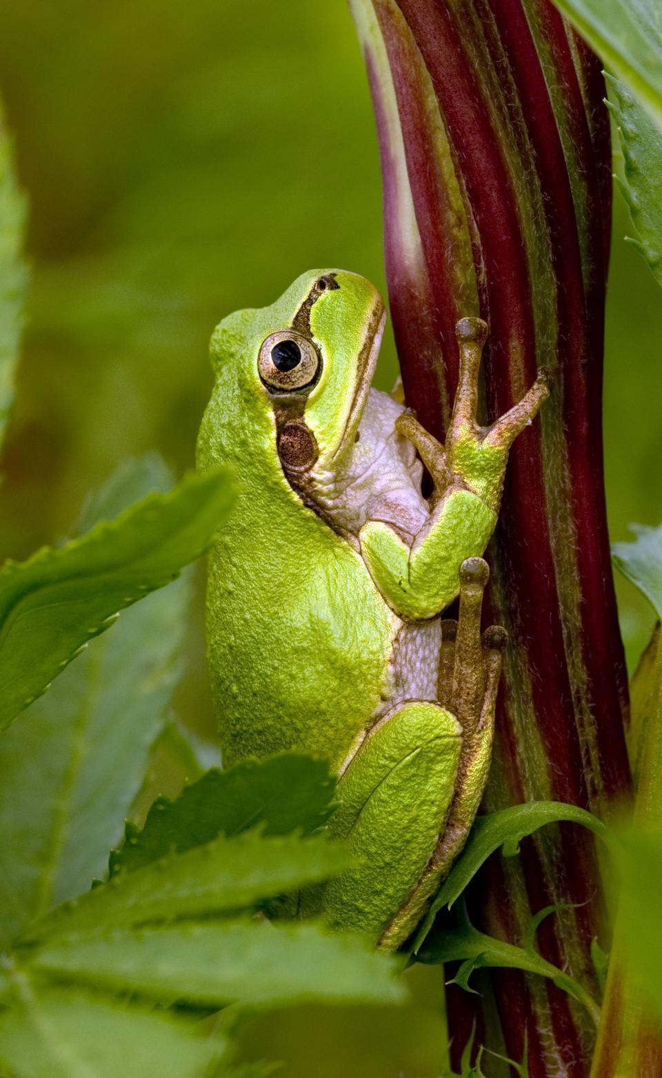 tree-frog-hiding-in-green-background-leafs-Agalychnis--10211363D018416F.jpg