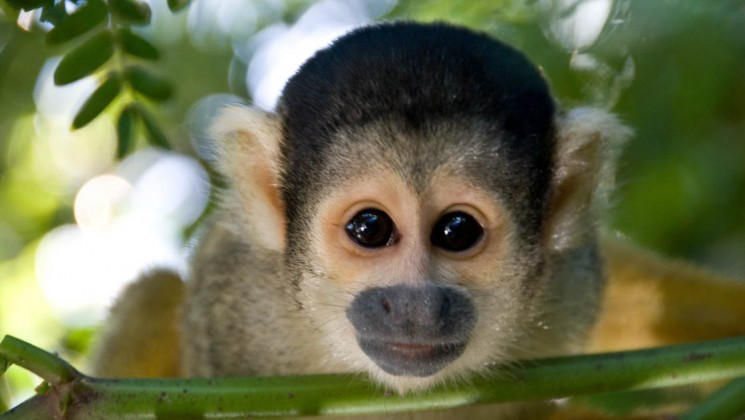 Monkey in Brazilian Amazon