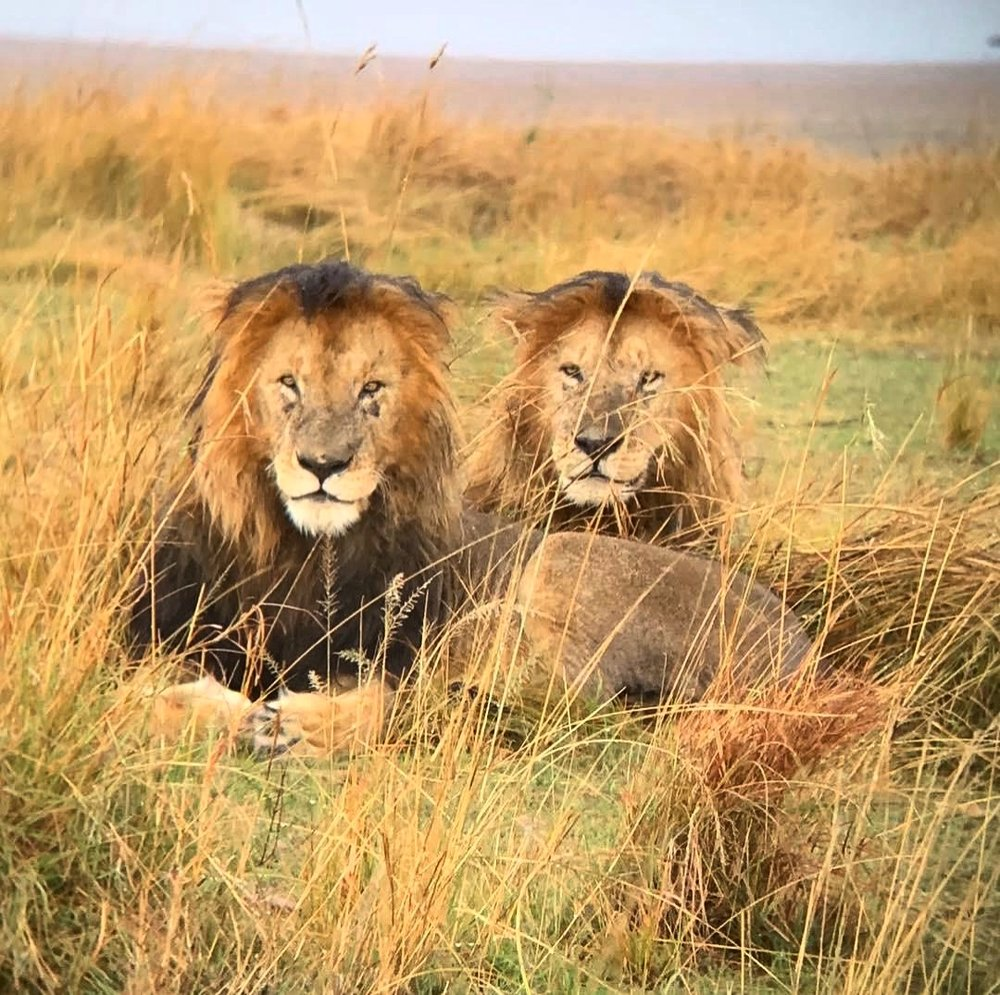 Male lions in the Mara, Kenya