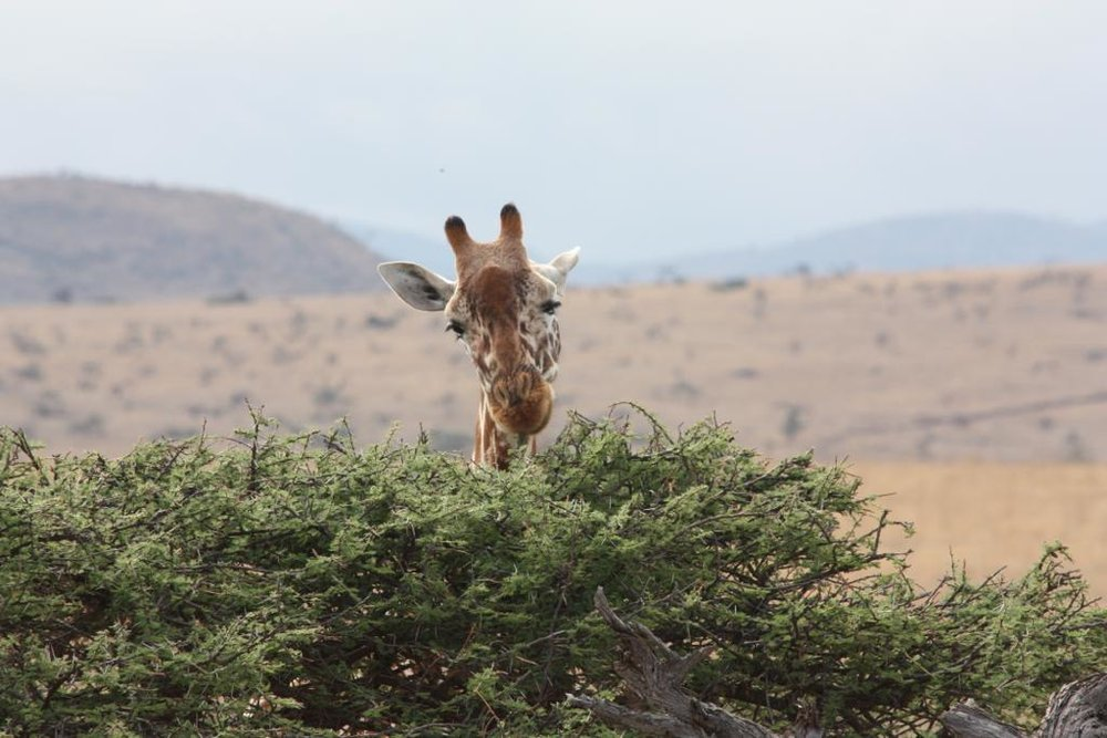 Giraffe in Serengeti National Park