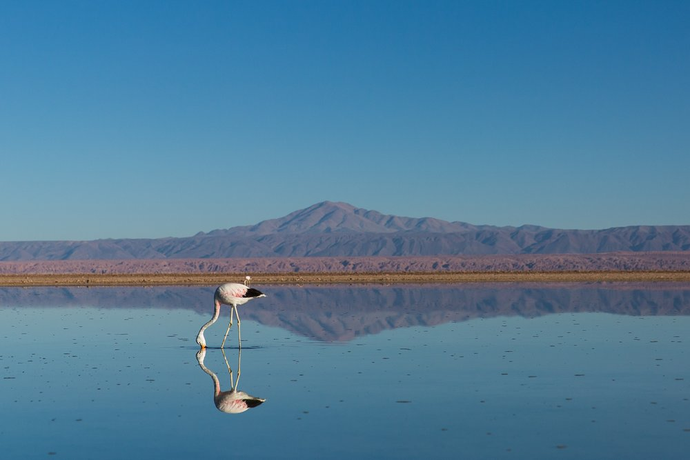 Flamingos in Atacama, Chile