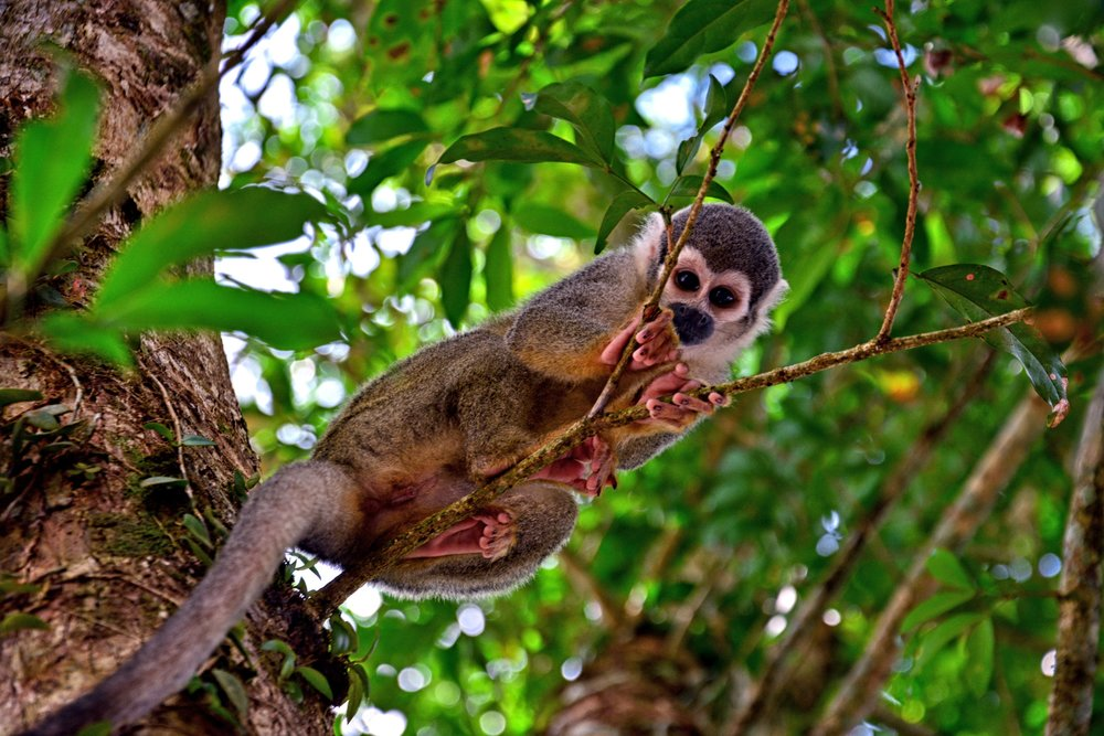 Grey Monkey in Coca, Amazon, Ecuador