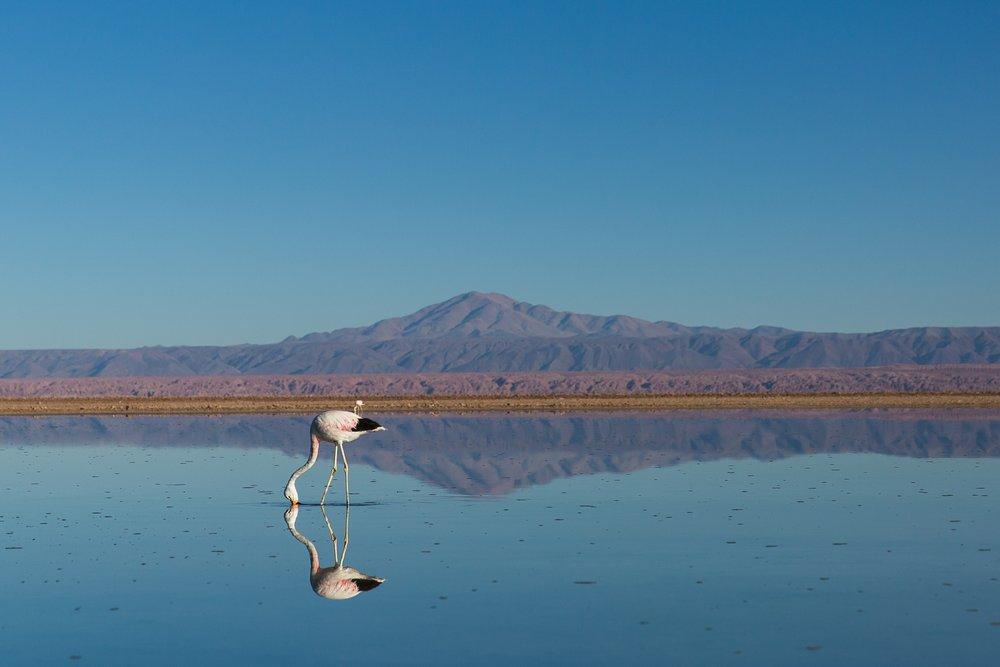 Flamingo in Atacama Desert, Chile