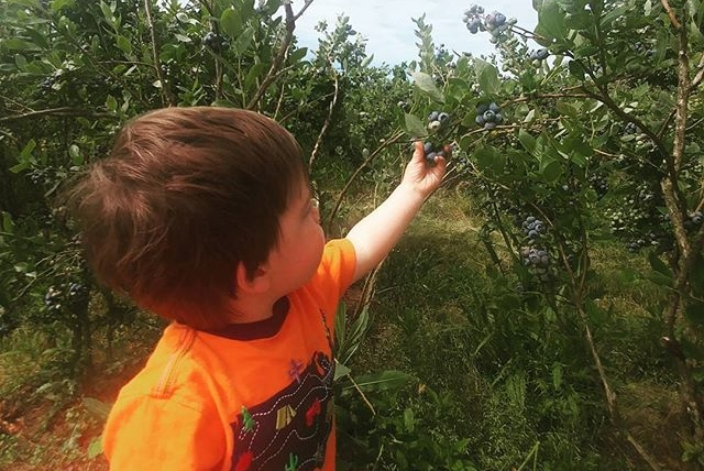Blueberry picking with Atticus