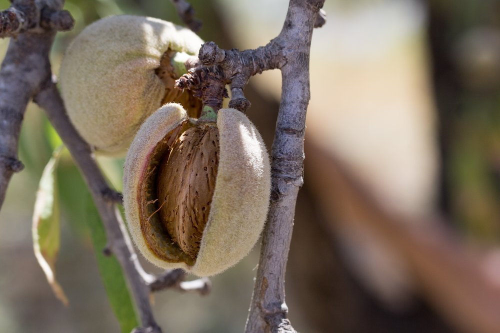 ALMOND OIL  is rich in hair & Skin Vitamins includes, monounsaturated fatty acids, proteins, potassium and zinc, which explains why its a favorite massage oil and great for skin, optimal for treating hair loss and damaged hair, best natural cuticle oil.
