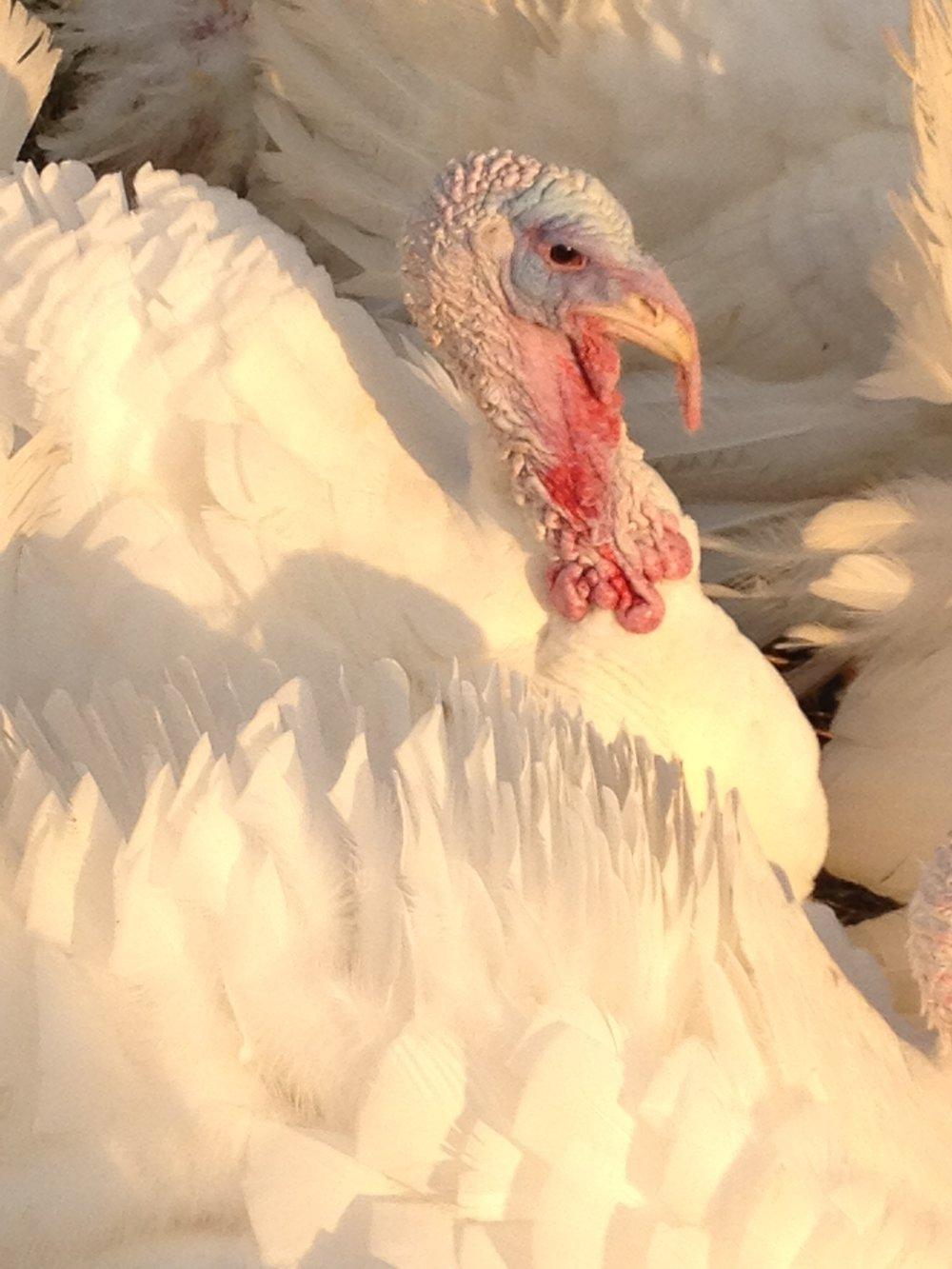 Turkeys 007.jpg
