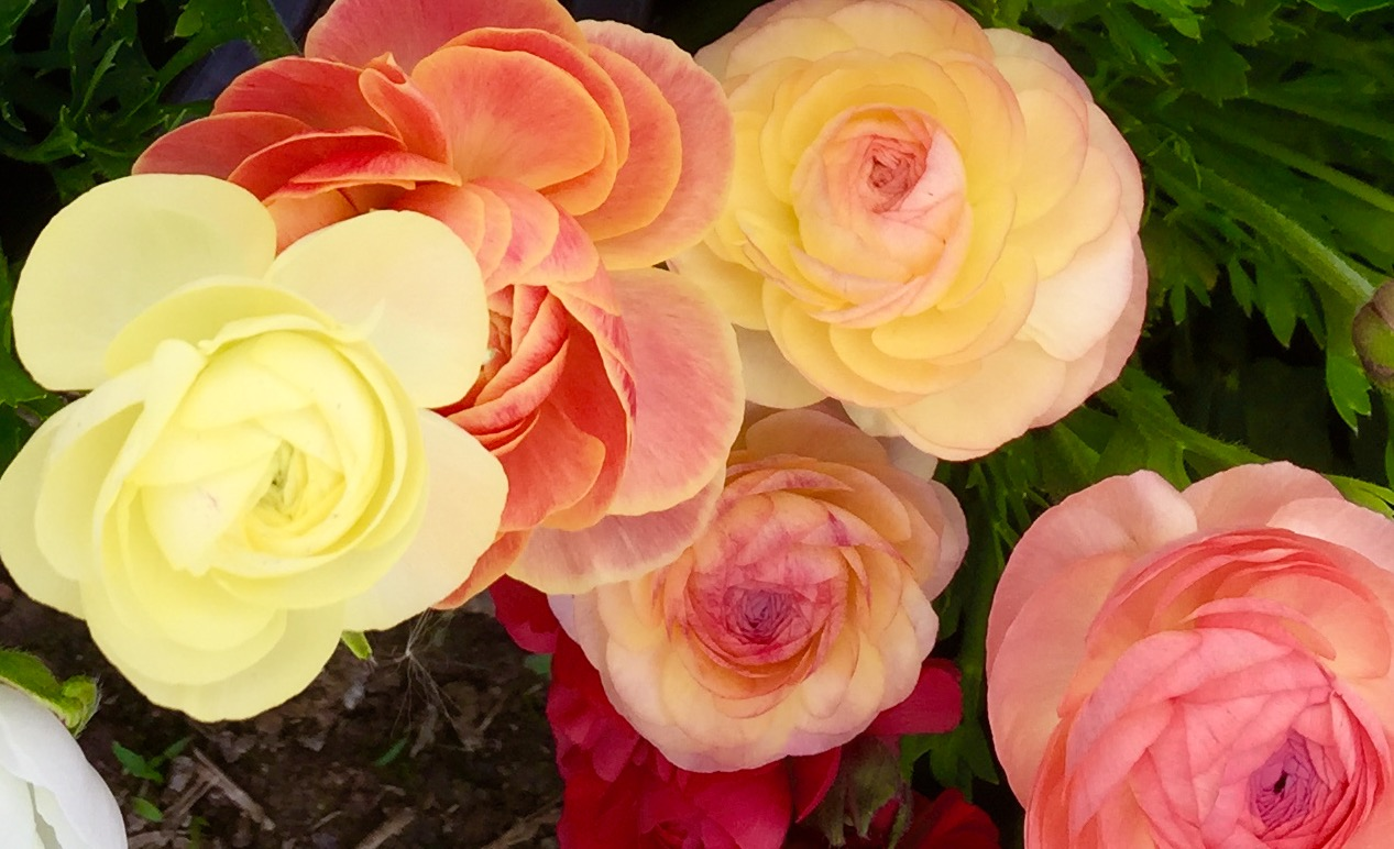 Michigan Flower Growers Cooperative Rose Diagram Lesson One Anatomy Ranunculus Pastels
