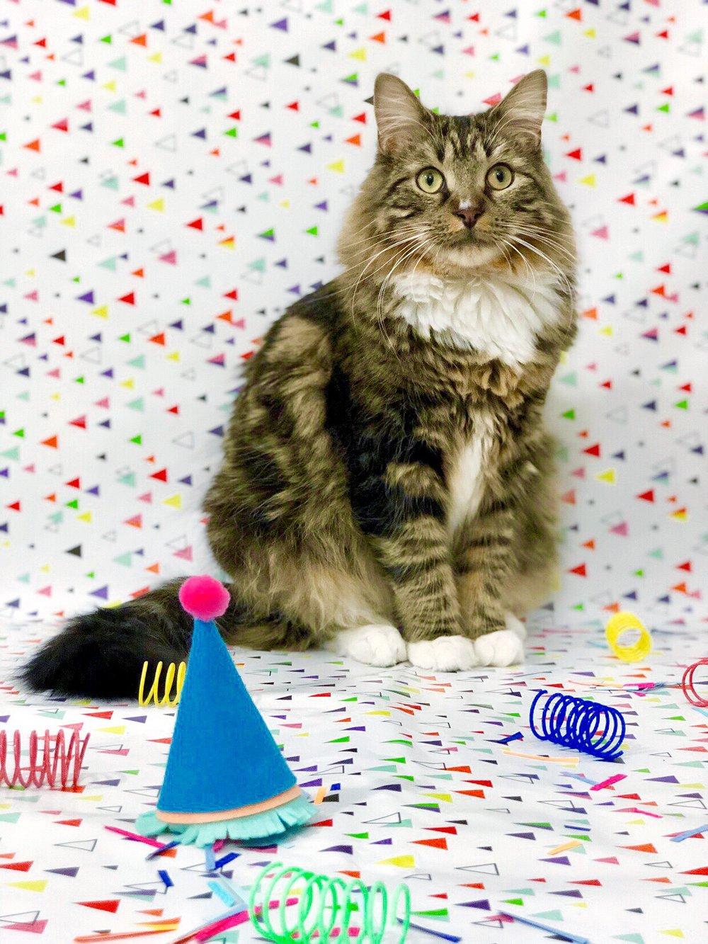 Easy Cat Birthday Party Hat DIY #catDIY #catsofinstagram #catlady #catlover #catbirthday #catcraft #catdaddy #catdad #gaybloggers #petparty #petdiy #catDIY #feltcraft