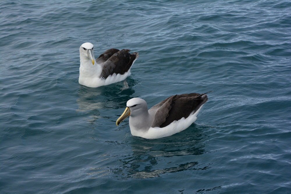 "Two species of the ""Lesser Albatross"" variety"