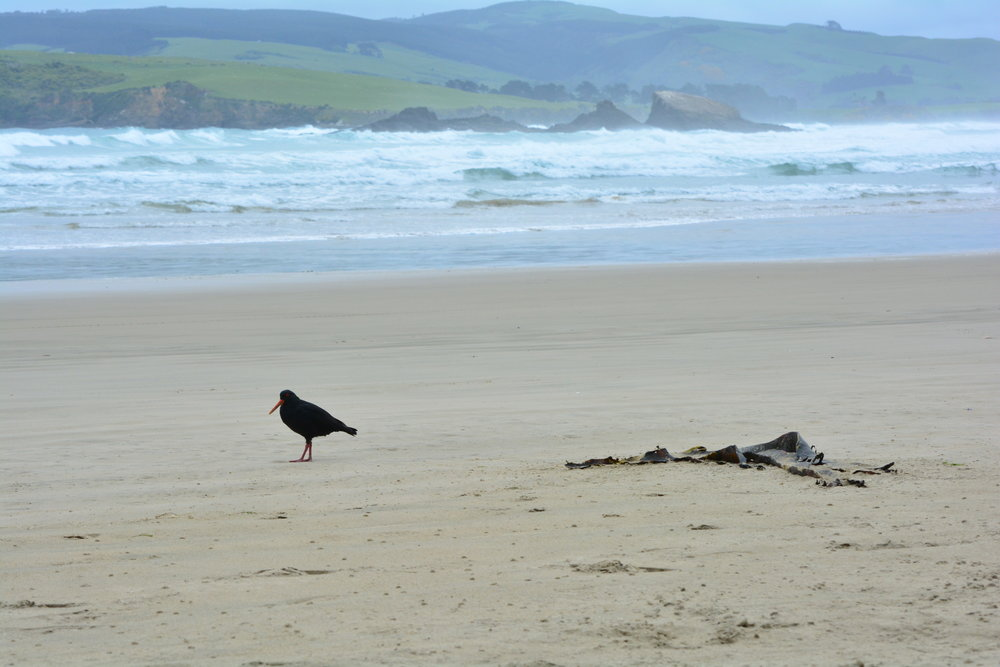 New Zealand Sea Lion Catlins Coast