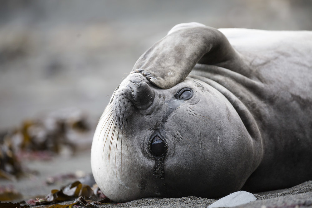 A beautiful lady elephant seal