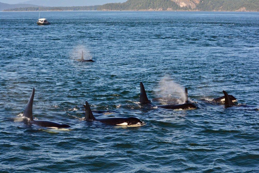 Orcas by San Juan Island