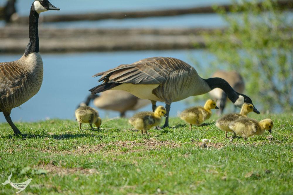 Canadian Geese in Coeur d'Alene, Idaho