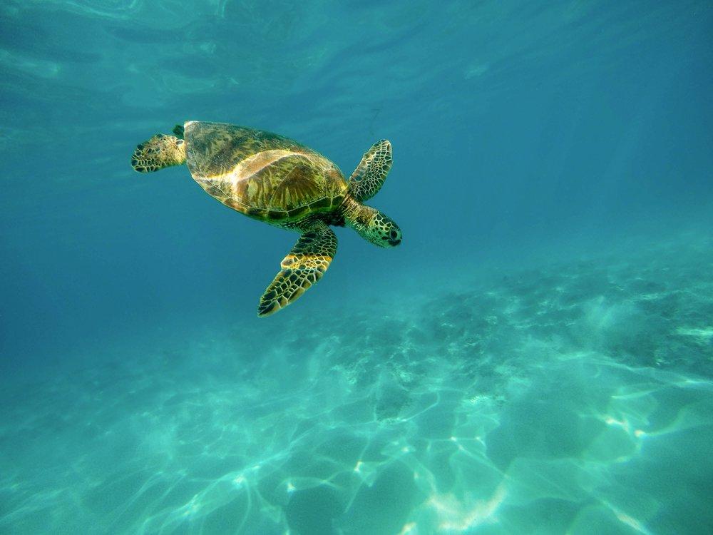 Seat Turtle Maui