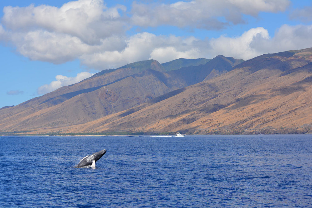 Humpback Whale Maui