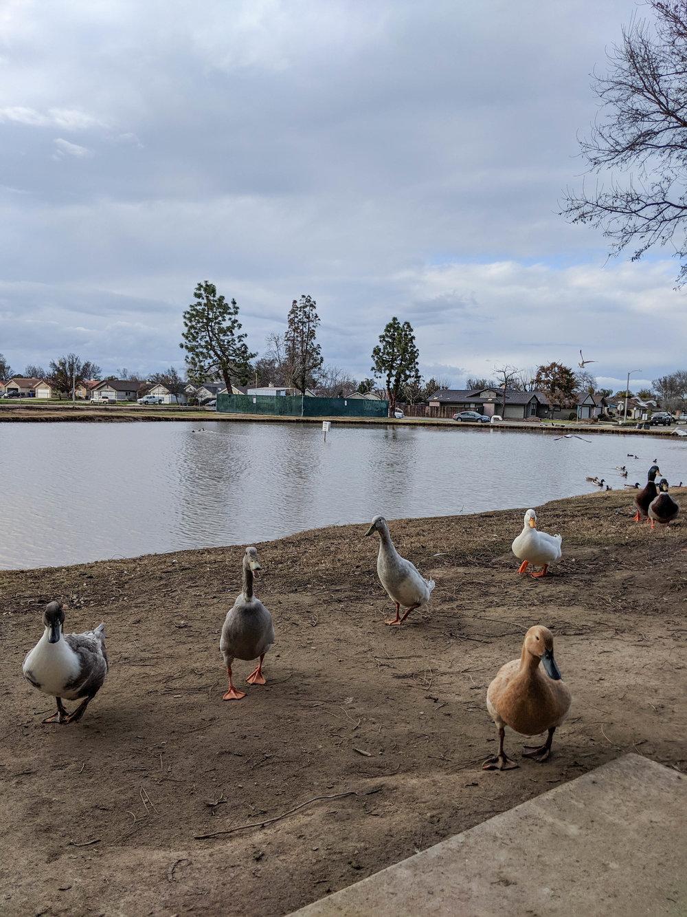 bri rinehart; hanford; photography; nature; california; ducks