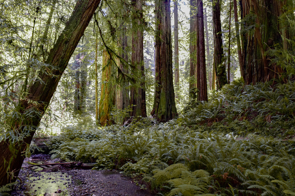 01 redwood forest, CA
