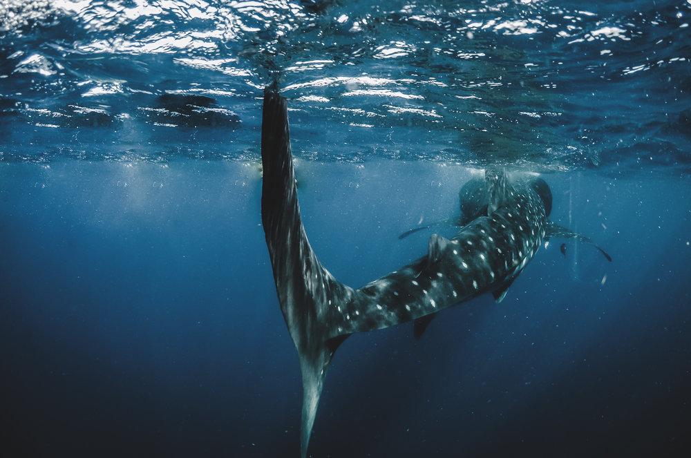 Whale_Shark_Tulum_Drew DeGennaro20160810_Tulum_20160810_GOPR1690_126.jpg