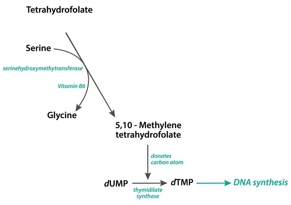 tetrahydrofolate-dna-synthesis