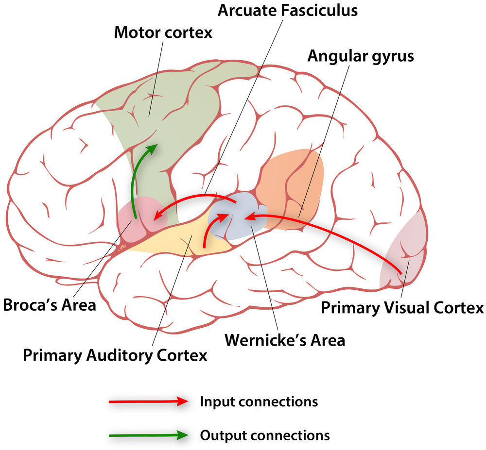 brain-input-output-connections