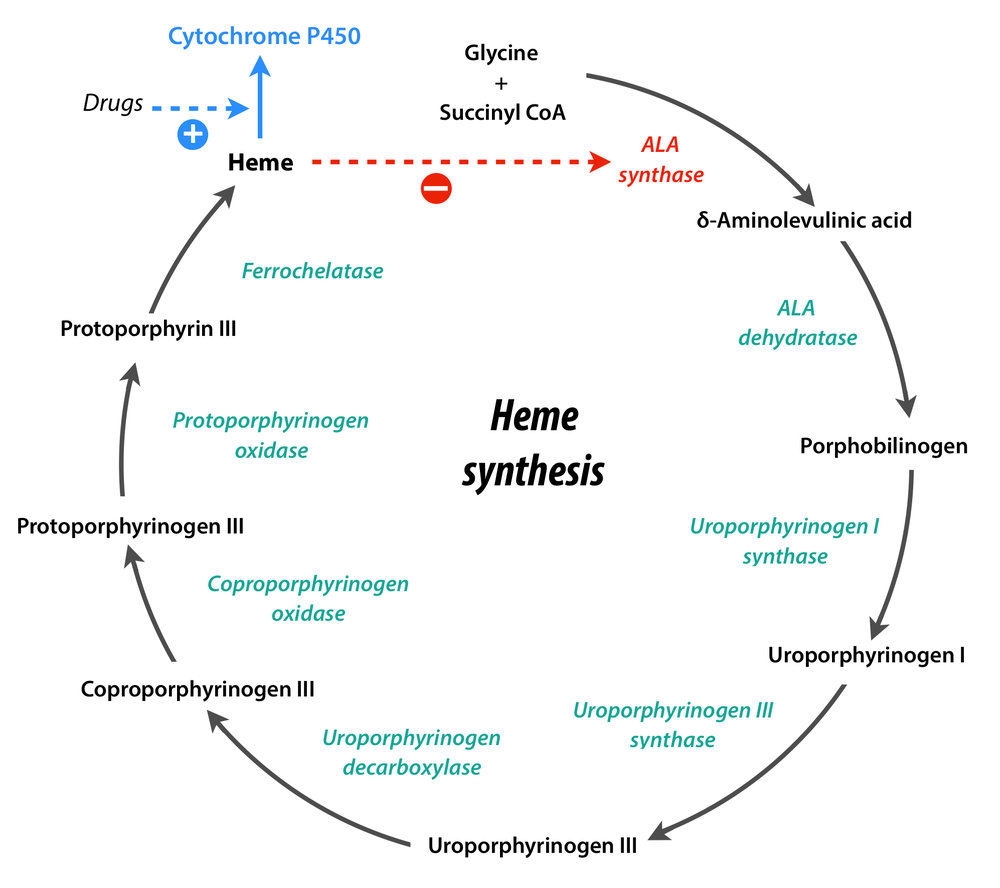 Heme synthesis.jpg