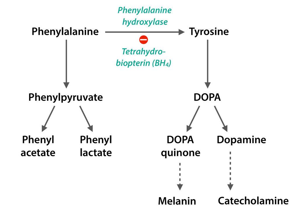 phenylalanine-metabolism