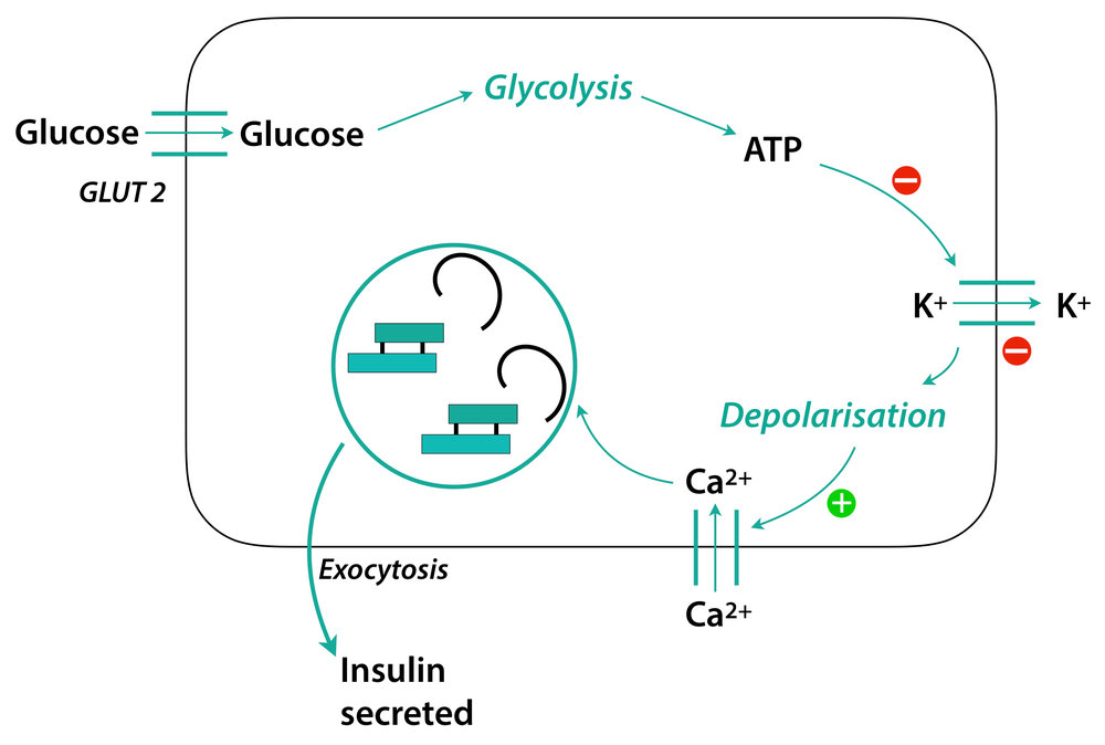 insulin-secretion