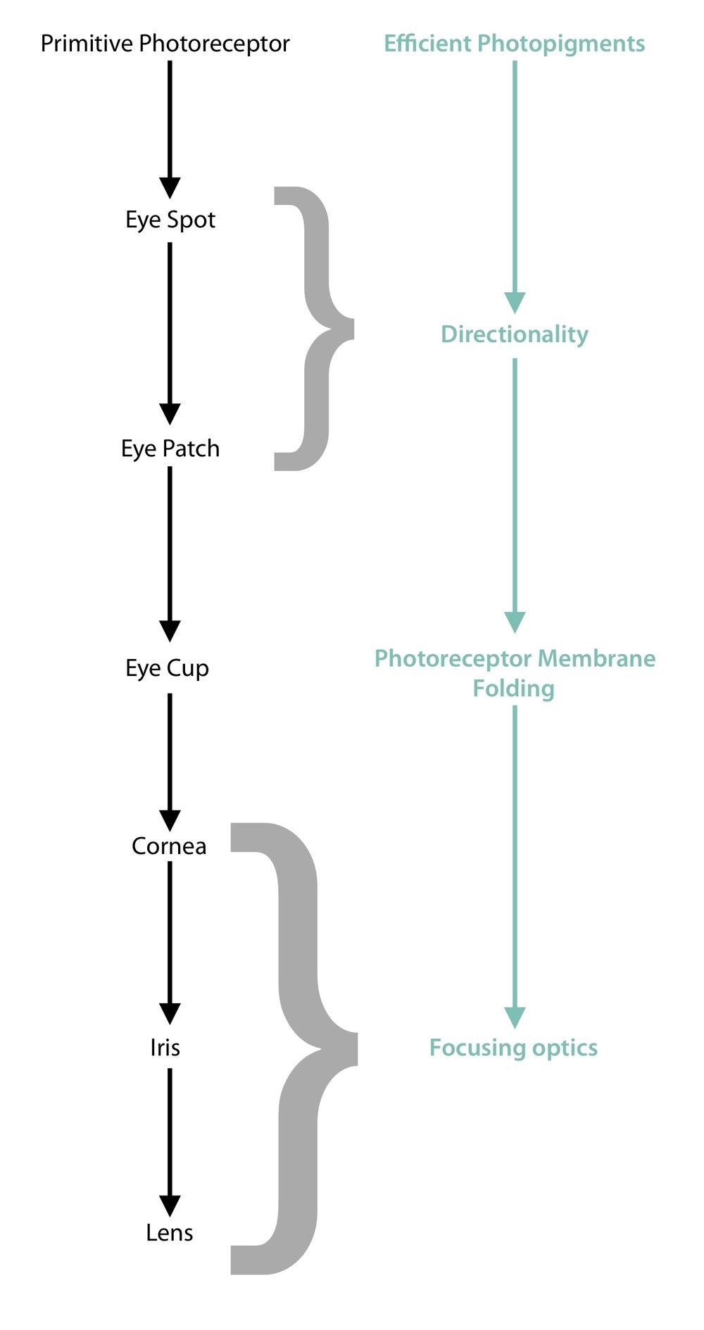 D.E. Nillson and S. Pelger Model of the Evolution of the Eye