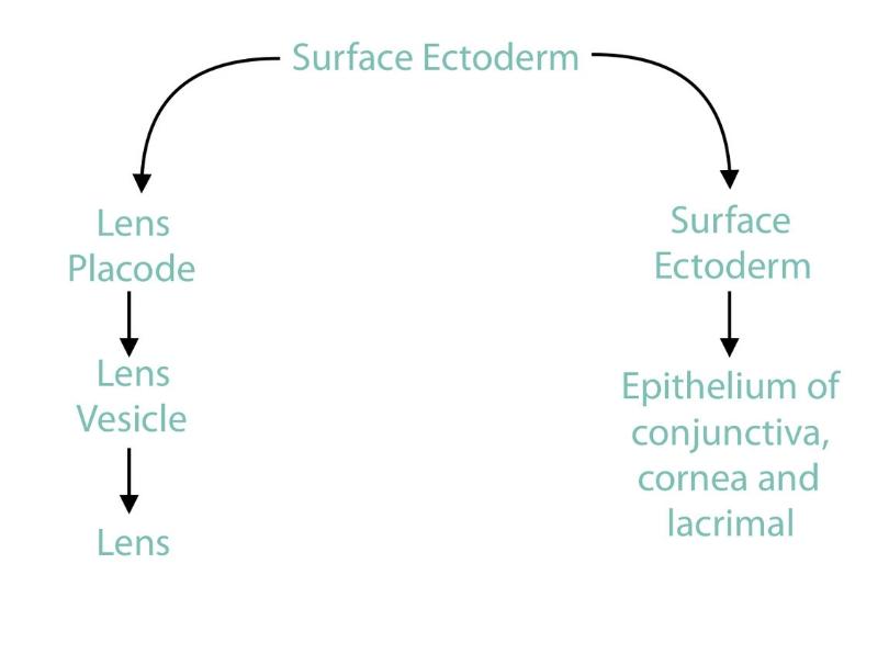 surface ectoderm.jpg