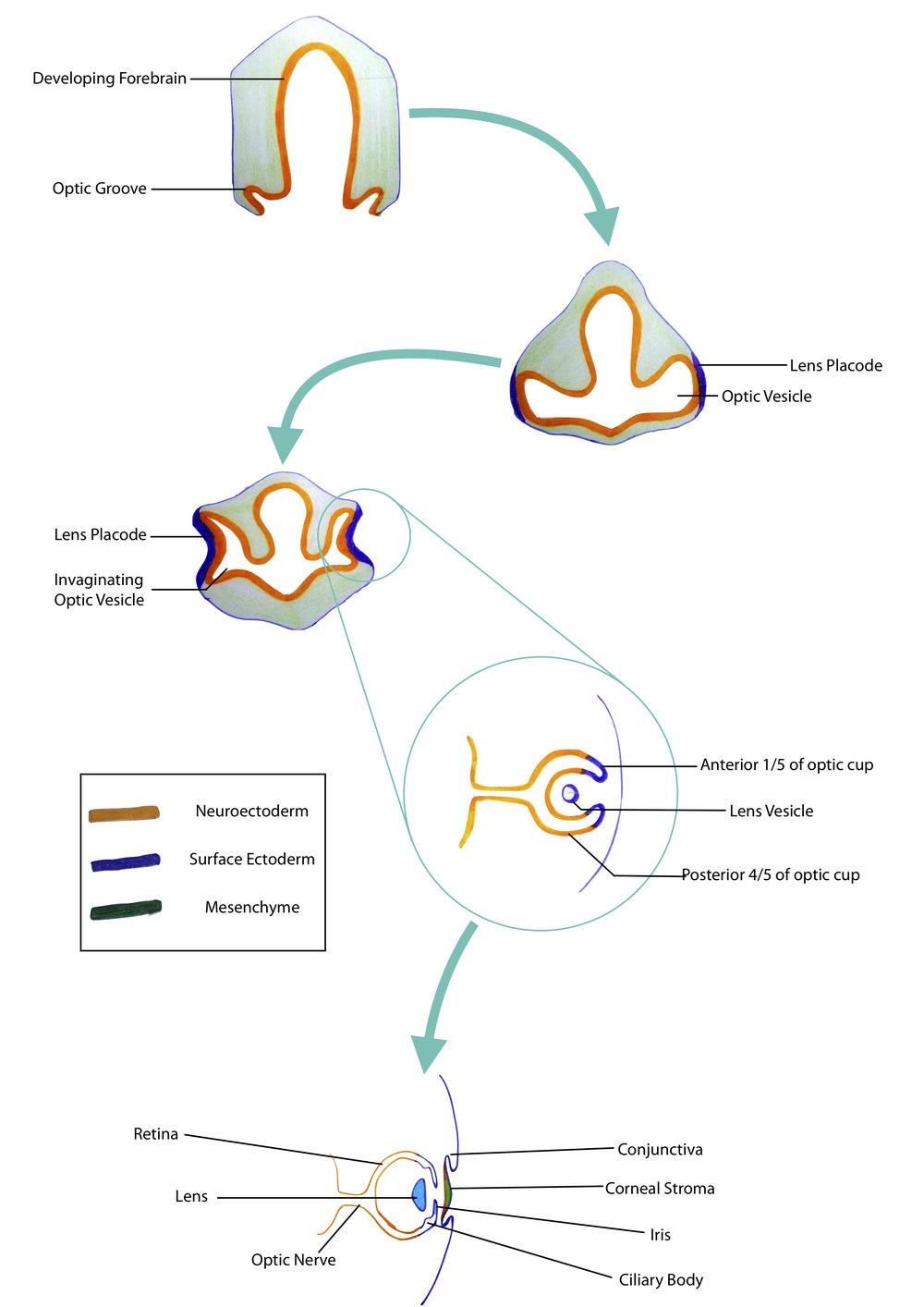 eye embryology.jpg