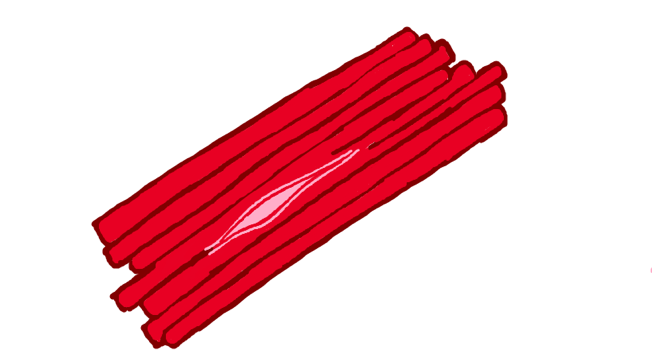Intrafusal fibres lie within the extrafusal fibres and are connected to the latter's glycocalyx