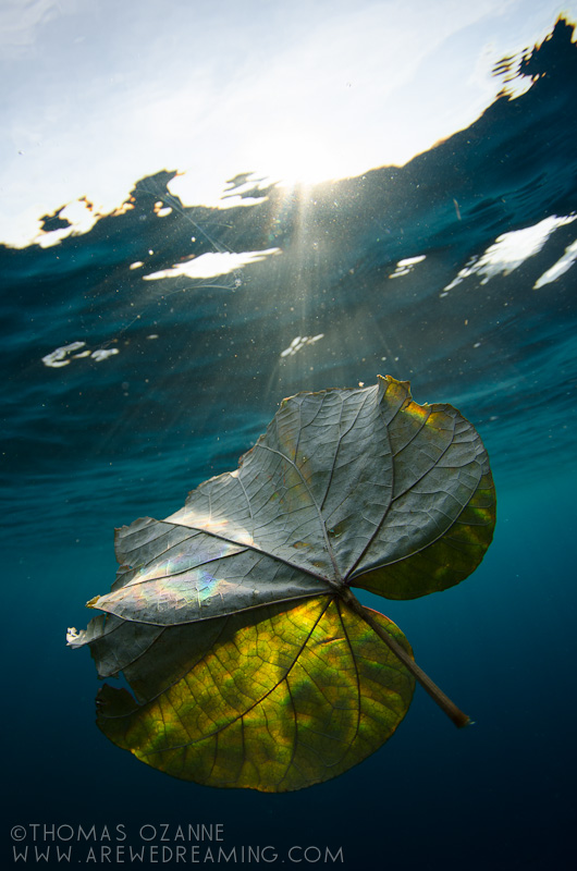 Leaf, Amed, Free Dive, Snorkel, Indonesia, Thomas Ozanne, Subal, D7000, Bali