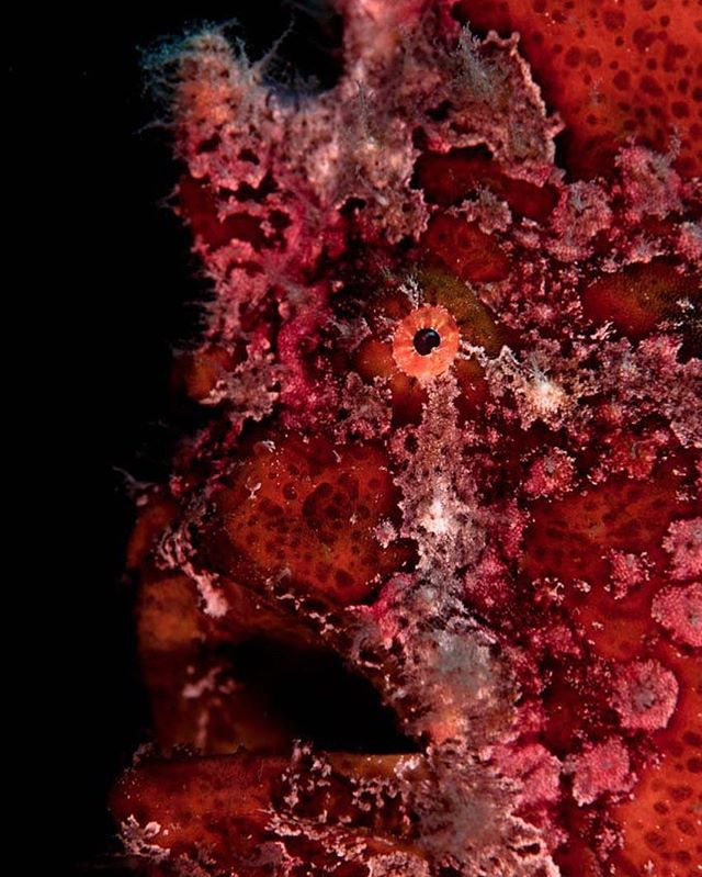 Boy, was my face red. Giant Frogfish (Antennarius commerson) in Anilao, Philippines.