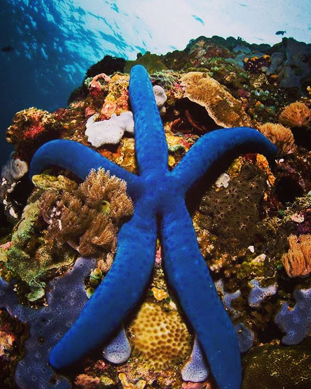 Show the reef some love. Give it a hug. Blue Starfish (Linckia laevigata) on a coral outcrop on Verde Island in the Philippines.