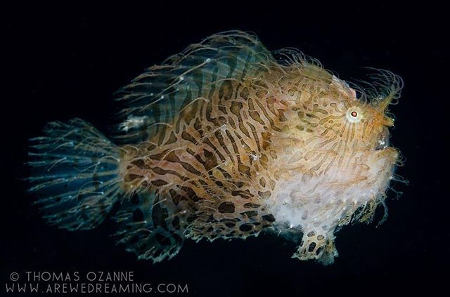 Hairy frogfish (Antennarius striatus) also known as Striated frogfish taking a swim through the night. This was shot on a 140 minute long dive in the shallow waters near Anilao pier in the Philippines. I was looking through the muck for critters and then this blob came swimming along.