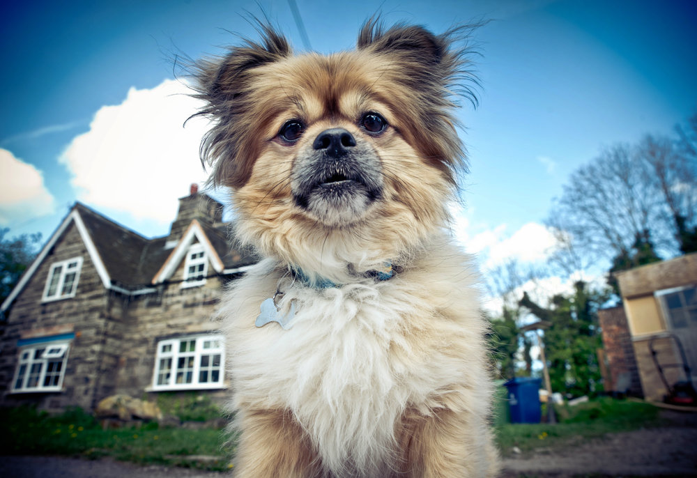 ALAN THE DOG JODIPHOTOGRAPHY PET PHOTOGRAPHY STAFFORD.jpg