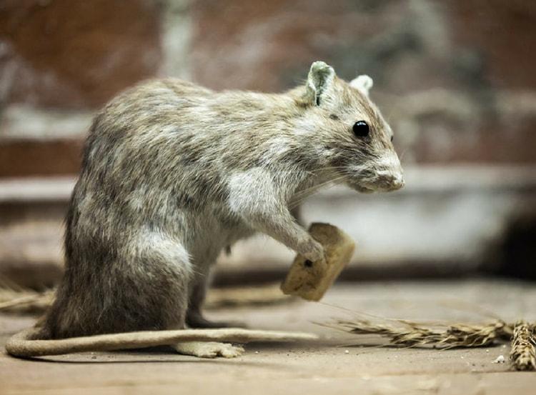 rodent-min.jpg