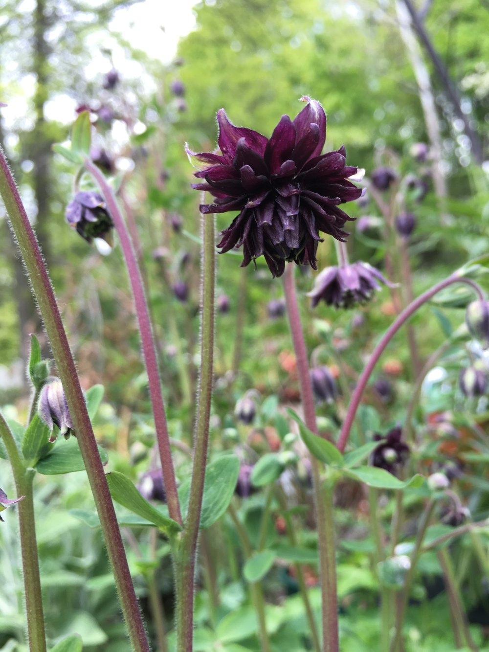 Our favorite columbines spring blooms victoria gardens aquilegia vulgaris plena black barrow izmirmasajfo Image collections